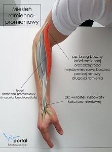 układ mięśniowy - mięsień ramienno promieniowy