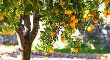 pomarańcze - dlaczego warto jej jeść?