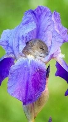 mysz polna śpiąca w irysie