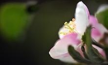 . . . kwiat jabłoni