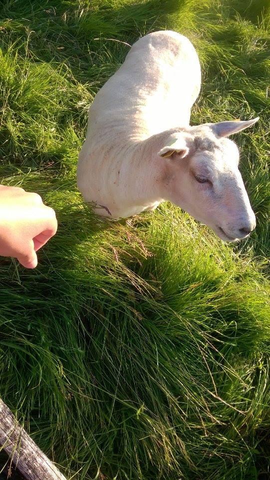 taka owieczka słodka <3