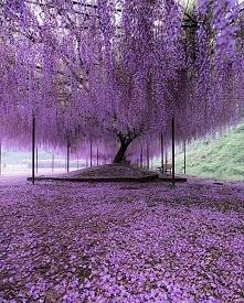 Drzewo Wisterii w Hyogo, Japonia