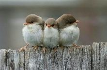 Ptaszki.