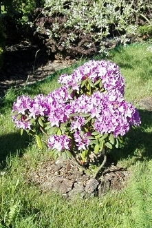 Rododendron *.*