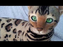 Bengal cat - Needle felted realistic figurine / Kot bengalski figurka z wełny