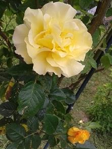 żółta:-)
