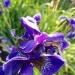 Tak zwany Irys, tegoroczne kwiatki całkiem ładnie się prezentowały.