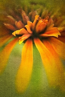 . . . z ogródka - jeżówka (art)