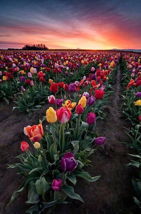 Pole tulipanów w Woodburn w stanie Oregon. Cudowne