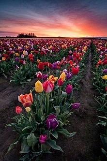 Pole tulipanów w Woodburn w...