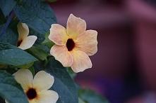 tunbergia 'blushing Susie'