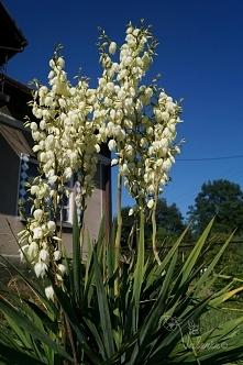 Kwiaty w ogrodzie, jukka