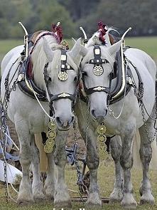 Para siwych (białych) koni zaprzęgowych. Mają ładną uprząż.