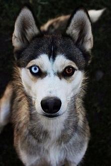 Piękny pies , ale te cudne oczy są nieziemskie *.*