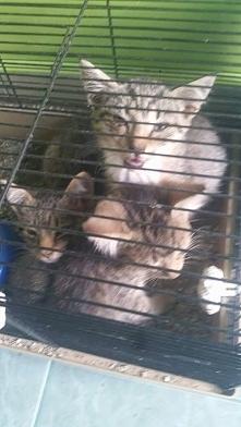 Suwalki! Prosimy o pomoc. Trzy koty w takim stanie, wyrzucone zostały pod śmietnikiem. Oczywiście pani znalazła, patrzeć na nie nie może, ale trzymać tez nie może. Czy ktoś przy...