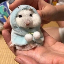 Mysz Chomiki przygotowuje się na zimę..:-D