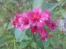 kwitnąca krzewuszka