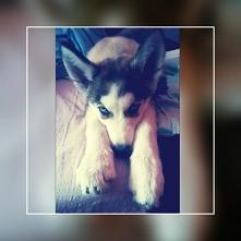Husky ❤