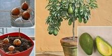 Zachowaj pestkę od awokado i wyhoduj własne drzewko w domowym zaciszu