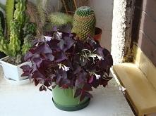 Oxalis Triangularis - Szcza...