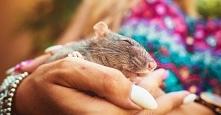 Szczur labolatoryjny który po raz pierwszy ujrzał światło dzienne.