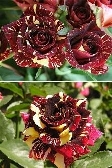 Najpiękniejsza róża dla najlepszej dziewczyny ASIA :-*(^3^)♥♥♥