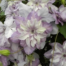 """CLEMATIS """"REFLECTIONS"""""""