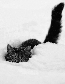 Here are some cats looking majestic in the snow! You're welcome. ;) By B...