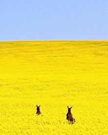 Kangury w polu rzepaku, Australia
