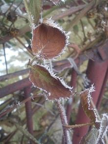 ...zimowo na jeżynach...
