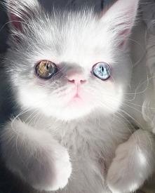 Co za słodziak <3 Ten kotek ma heterochromię - choroba ta objawia się różn...