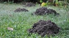 Jak pozbyć się kreta z ogródka- sprawdzone sposoby