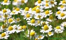 Nalewka z suszonych kwiatów rumianku ( doskonała przy zaburzeniach trawiennyc...
