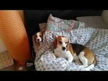 Szczeniak dostaje szału radości kiedy zostaje wpuszczony pierwszy raz na łóżko. Niestety jego euforia nie trwa długo