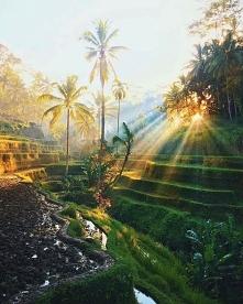 Ryżowe tarasy na Wyspie Bali.