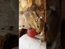 Wiewiórka je litchi.