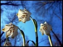 To jedna z pierwszych na wiosnę kwitnacych roślin - śnieżyca wiosenna. Odwied...