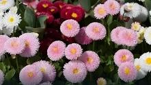 Stokrotki - najpopularniejsze kwiaty do ogrodu i na balkon
