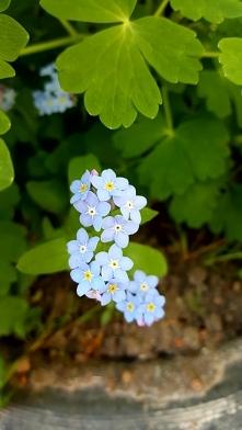 Niezapominajki to są kwiatki z bajki...