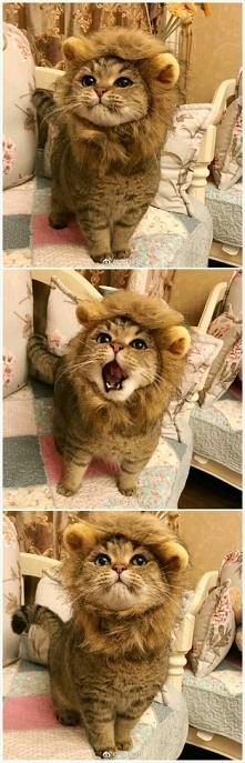 Kotek w przebraniu lwa - cu...