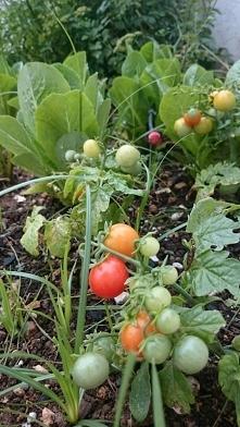 Pomidorki koktajlowe z nasion prentują się okazale,tuż
