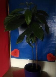 rośnie w oczach :) awokado