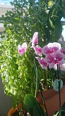 Bazylia w towarzystwie storczyka a za nimi kwiat nocy ,który kwitnie i pachni...
