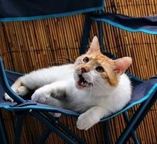KRAKEN  URODZONY : 2014/2015 KASTRACJA: tak  ODROBACZENIE: tak SZCZEPIENIE: tak  Piękny wielki kot o smutnym wyrazie pyszczka z krakowskiego Złocienia.  Kraken to duży (6 kg) ko...