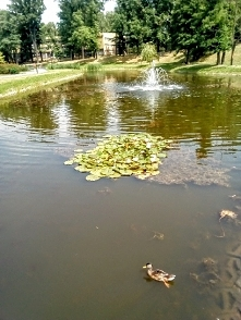 Łódzki park Helenów. Pływająca fontanna, lilia wodna i kaczuszka.