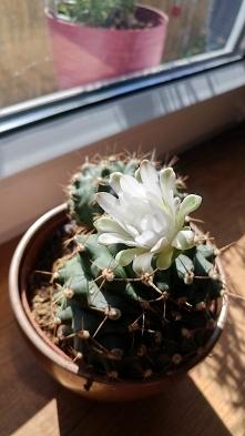 Kaktusiński zakwitł! Jakieś...