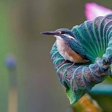Zimorodek maleńki ptaszek, który waży zaledwie 40 gr. Widujemy je rzadko gdyż...