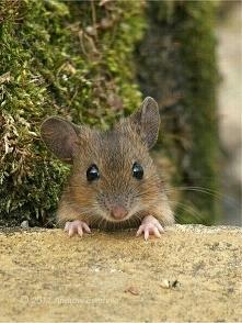 Mysz :)