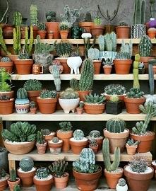 Kaktusiki <3
