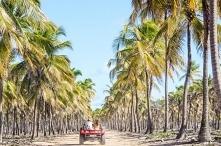 Palmy kokosowe na plaży - Maracaipe, Brazylia :)